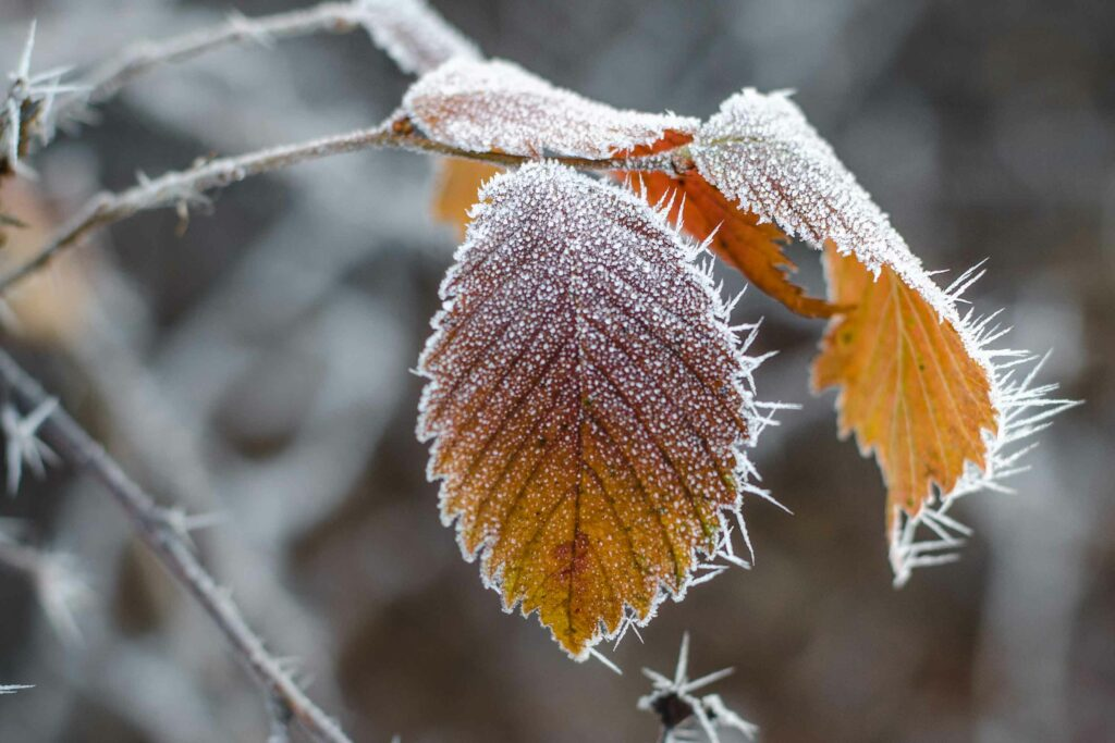 Autumn_frost_on_leaves
